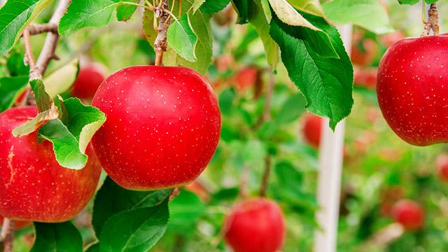 どのリンゴがいい?